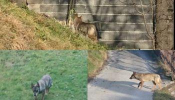 """Nevjerovatno: 14 vukova napravilo """"čudo"""""""