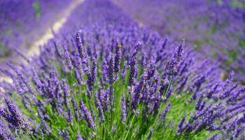 Biljka – zamjena za pesticide