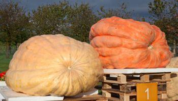Buča od skoro 900 kg pobijedila na festivalu divovskih lubenica i bundeva