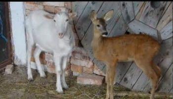 Lane i Koza