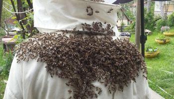 Pčelinji otrov štiti od koronavirusa
